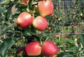 pianta di melo