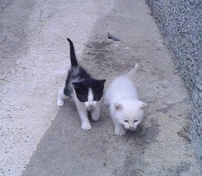 gattiniok