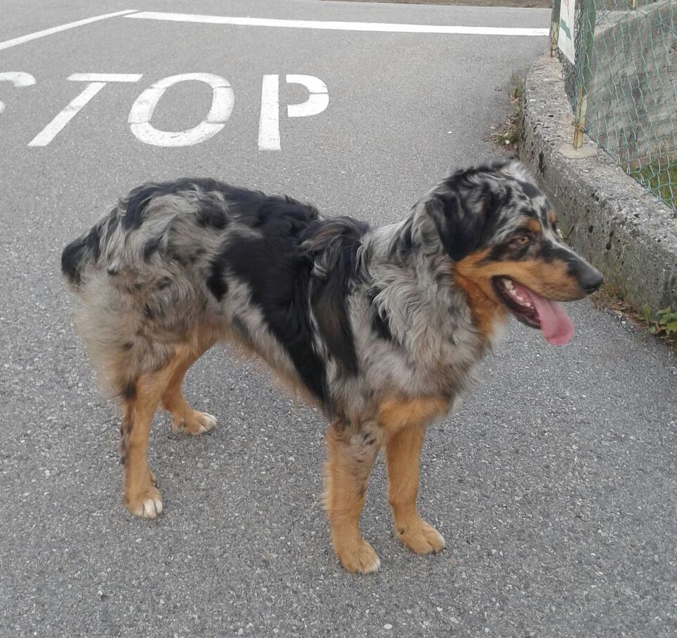 cane-songavazzo