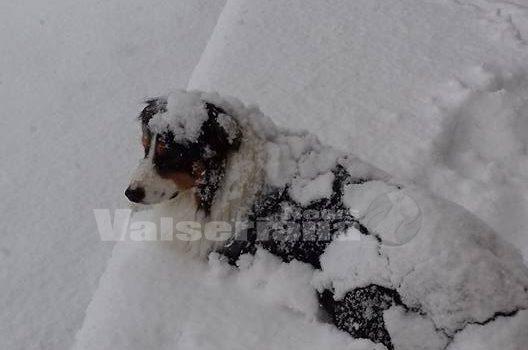 Colpo di coda dell'inverno, neve in abbassamento a 1500 metri – Foto