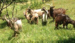 Sos amici a 4 zampe – Ritrovate le capre scappate sul Monte Farno