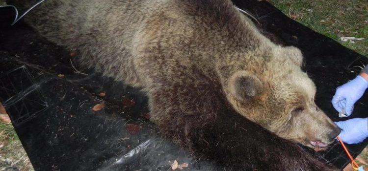 Uccisa in Trentino l'orsa KJ2 che aveva aggredito un uomo