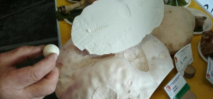 """""""Lofa"""" gigante da 3,794 kg, raccolto a Onore il mega fungo commestibile"""
