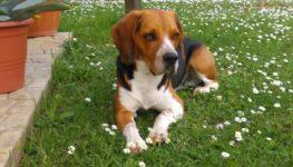"""""""Troviamo River"""", una pagina Facebook per ritrovare il Beagle scomparso in Maslana"""