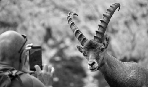 Concorso fotografico sugli stambecchi delle Orobie – i vincitori