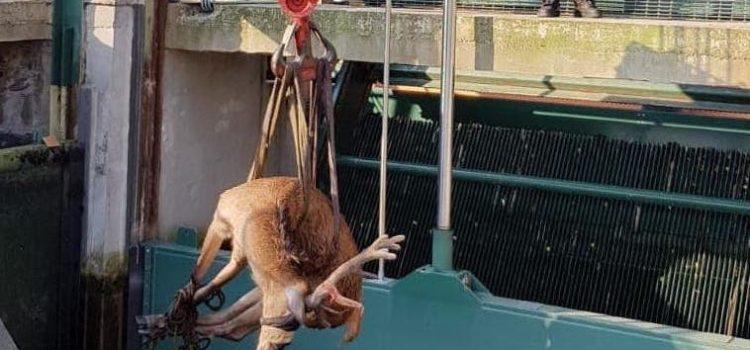 Cervo nel canale a Vertova, recuperato e rimesso in libertà – Foto e video