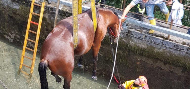 Cavallo nel canale a Villa d'Ogna, recuperato dai Vigili del fuoco – Foto