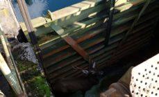 Parre: recuperato e liberato il cervo finito nel canale