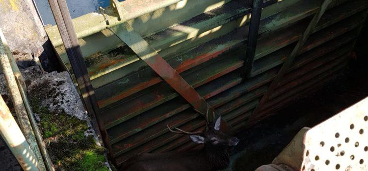 Parre: recuperato e liberato il cervo finito nel canale – video