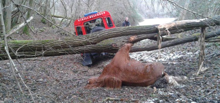 Albino, cavallo morto di stenti recuperato dai vigili del fuoco