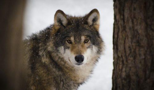 Trovata carcassa di stambecco nella zona del Brunone, l'ipotesi del ritorno del lupo sulle Orobie