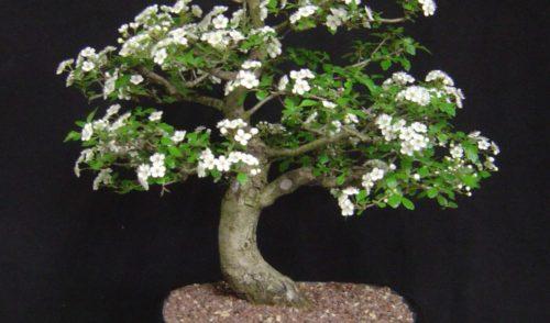 Domenica 19 maggio l'arte dei Bonsai al Parco Oppidum di Parre