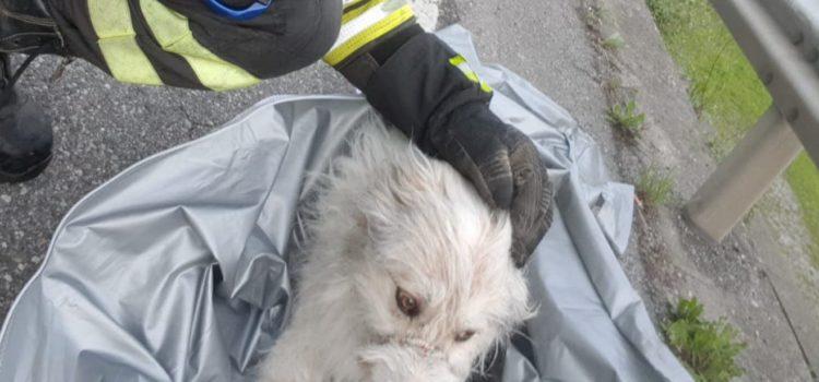 Albino, cane con la zampa rotta nel canale salvato dai vigili del fuoco