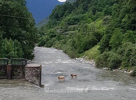 Mucche sorprese dalla piena del fiume Serio, recuperate dai Vigili del fuoco