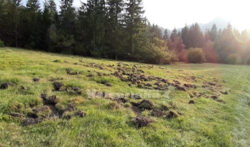 Cinghiali, raddoppiati gli abbattimenti ma in Val Seriana è ancora emergenza