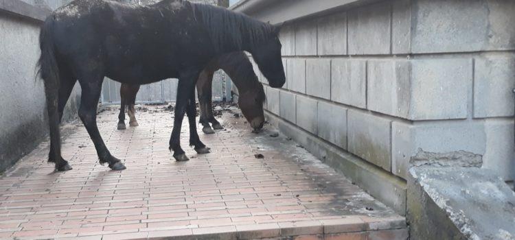 Cavalli nel cortile della scuola a Gandino – Foto